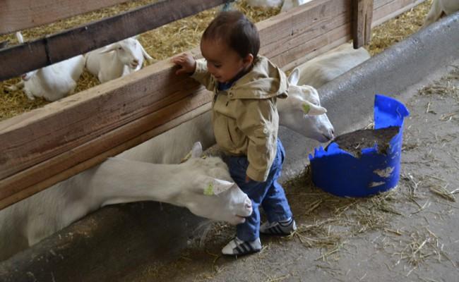 boerderij 't Geertje geiten