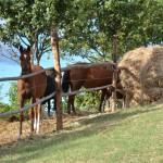 Paarden voor de deur toscane