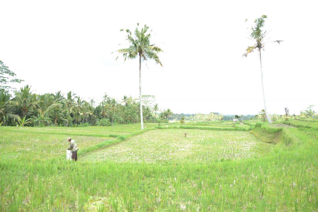 Fietstocht Bali met kinderen Ubud rijstveld palmboom