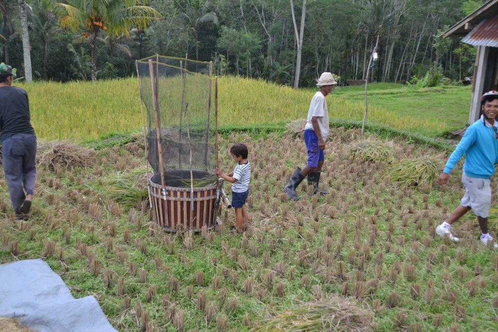 rijst oogsten slaan takken rijstveld
